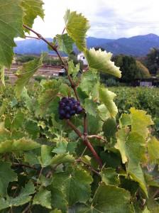 vigne Corse